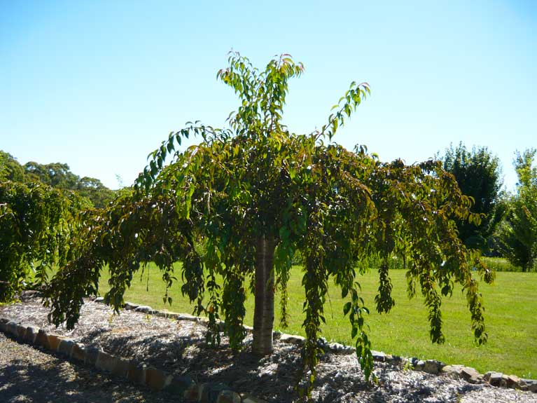 weeping cherry cheales