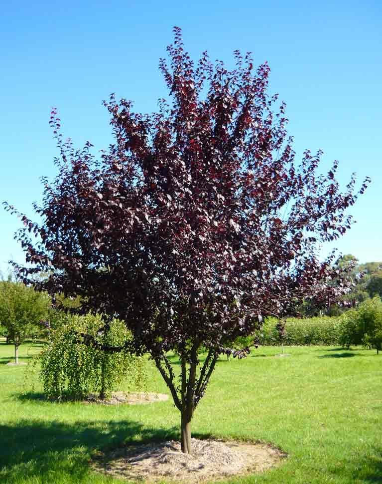 Ornamental plum