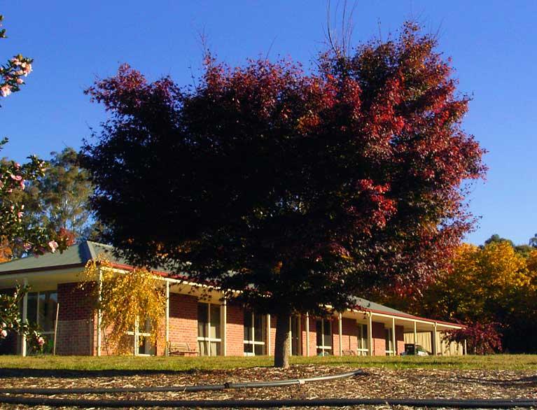 Japanese maple autumn