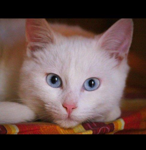 Un gatto bianco