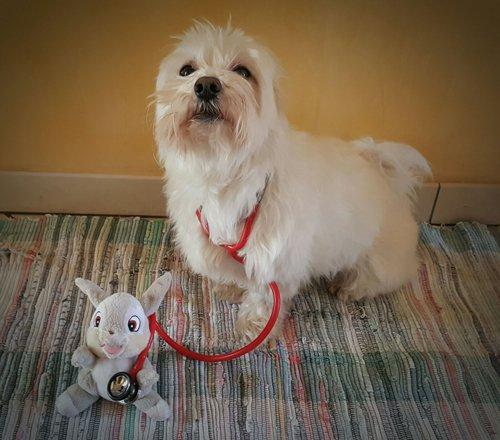 Un cane con uno stetoscopio