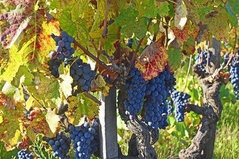 grappoli d'uva nera