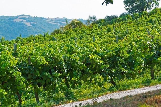 Gubbio Vineyard - Wine Production at Tenuta di Biscina