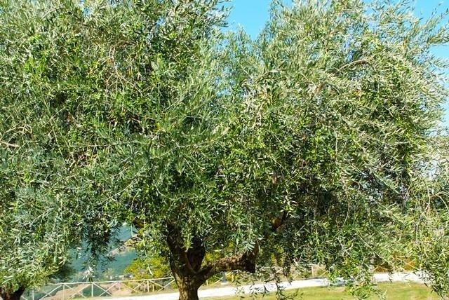 Olive Plantation - Tenuta di Biscina
