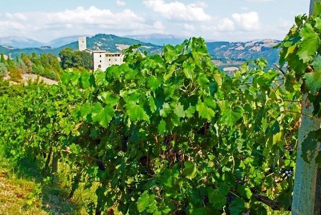 Vineyard - Tenuta di Biscina