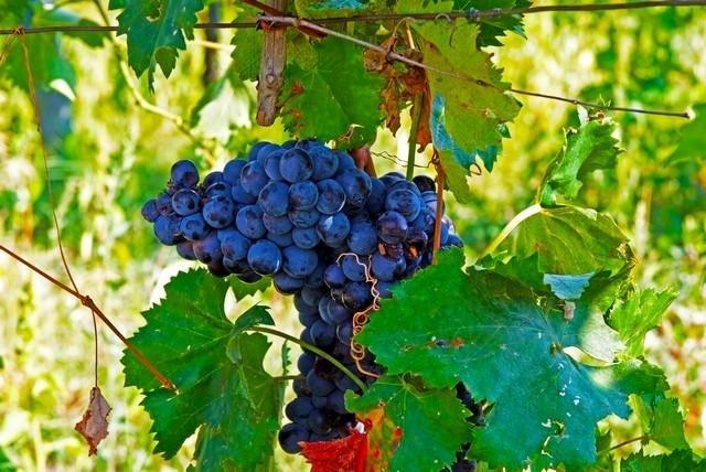 Vineyard of Tenuta di Biscina