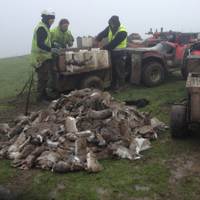 Rabbit eradication in Dunedin