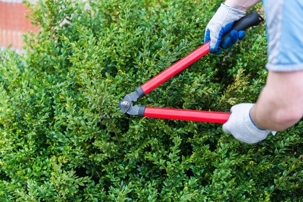 tree caring, man hands cutting plant edges