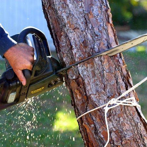 Arborist cutting small tree down