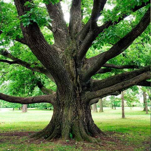 A healthy giant tree in the middle of park