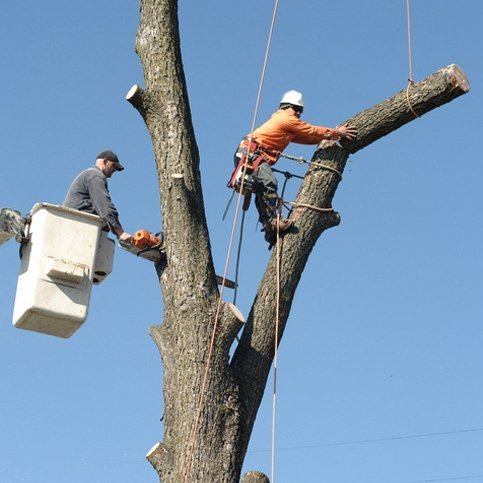 A man on a cherry picker and another on harness cutting a tree down