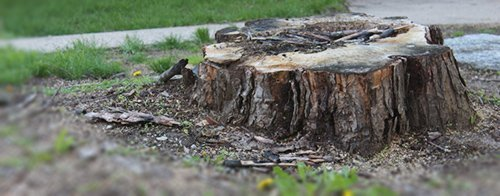 Tree stump in need of stump grinding in Cairns