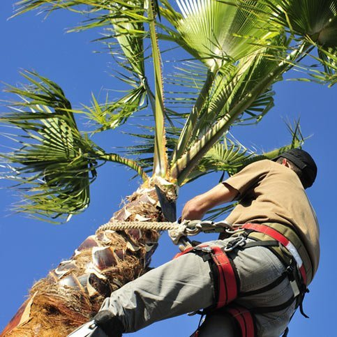 Arborist up on palm tree for maintenance