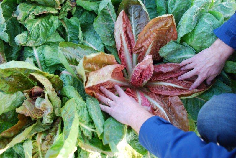 due mani e delle foglie di insalata rosso