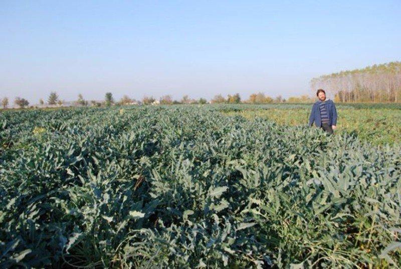 un campo di  verdure con delle foglie e un uomo sulla destra