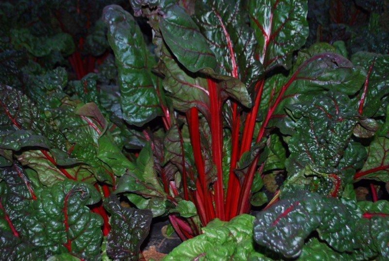 delle foglie con dei gambi rossi