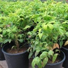 produzione piante vaso