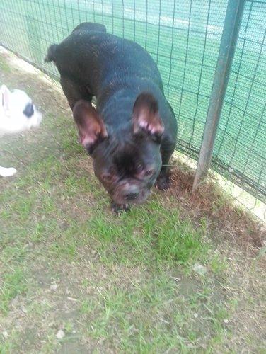 cane di razza BULLDOG FRANCESE nero
