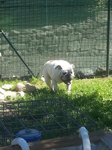 BULLDOG INGLESE in un recinto