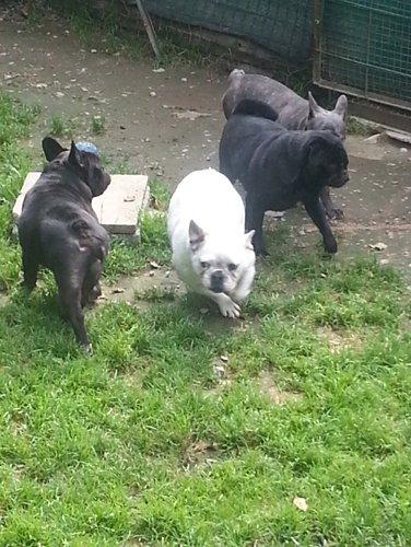 quattro cani in un recinto