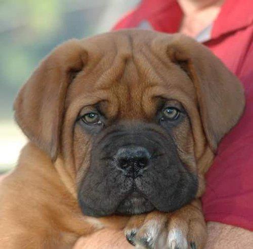 primo piano di un cane di razza BOXER