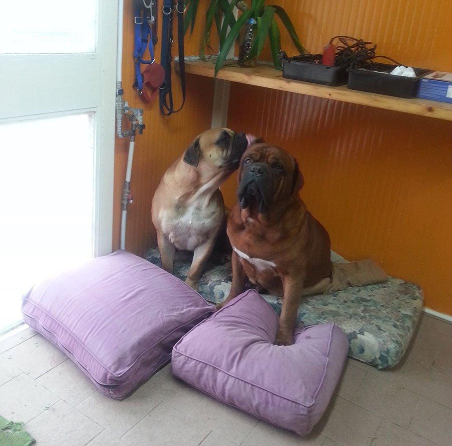 due cani di razza BOXER seduti su dei cuscini