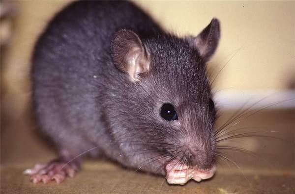 un ratto