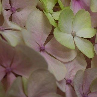 vista ravvicinata delle ortensie di color verde e lilla