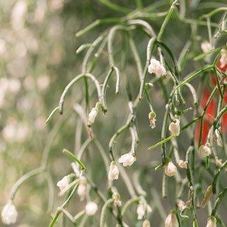 una pianta con fiori bianchi