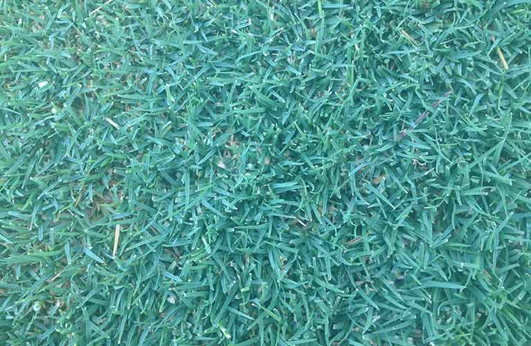 perth-turf-supplies-wintergreen-couch