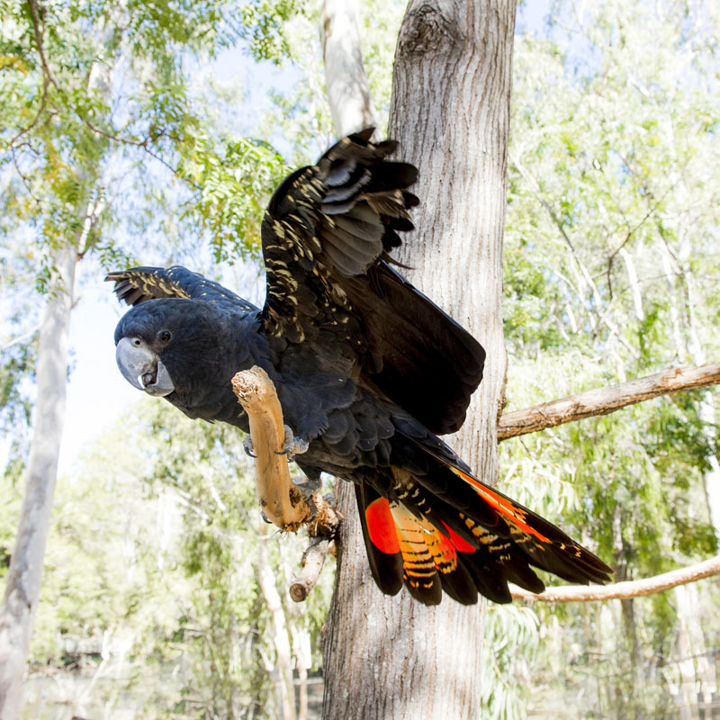 Black cockatoo in flight