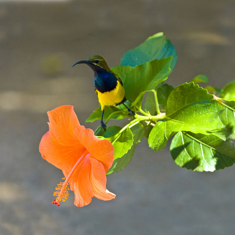 Daddy sunbird sitting on the branch