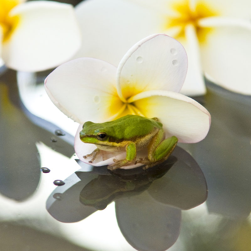 Frog sitting on petals reflection