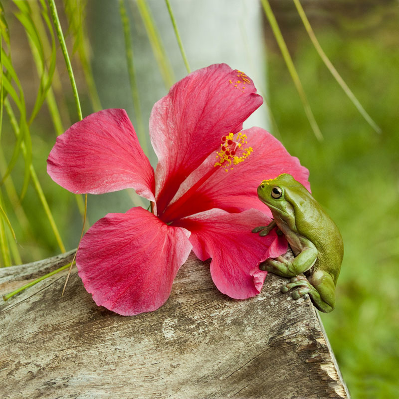 Frog smelling the hibiscus