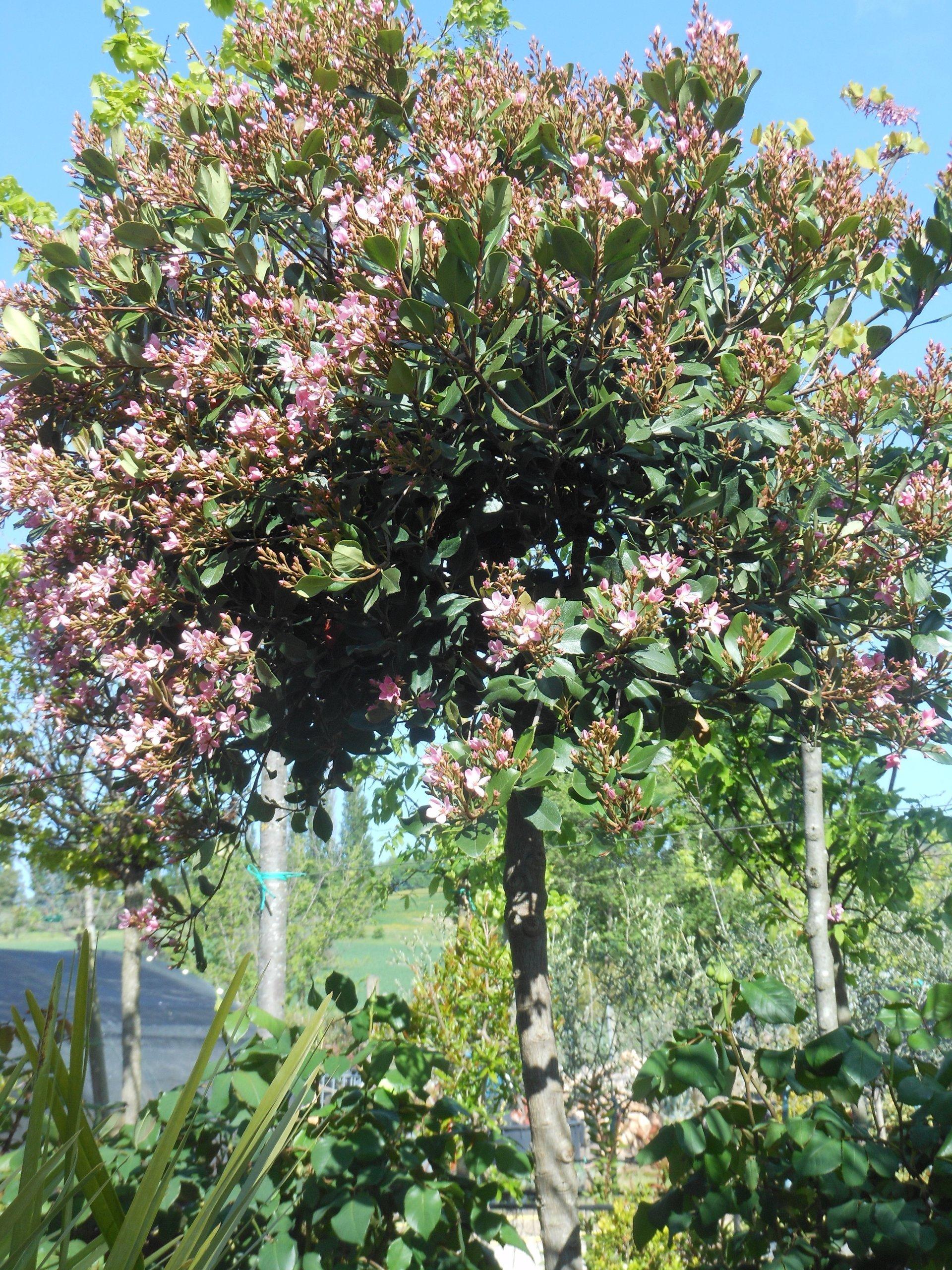 Piante alto fusto da giardino dracaena marginata with - Piante alto fusto da giardino ...