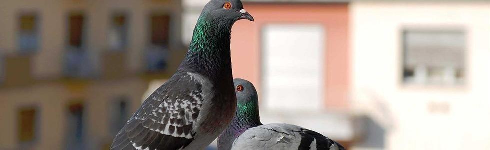 piccioni
