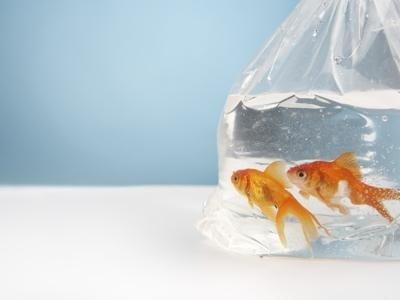 Fornitura pesci rossi