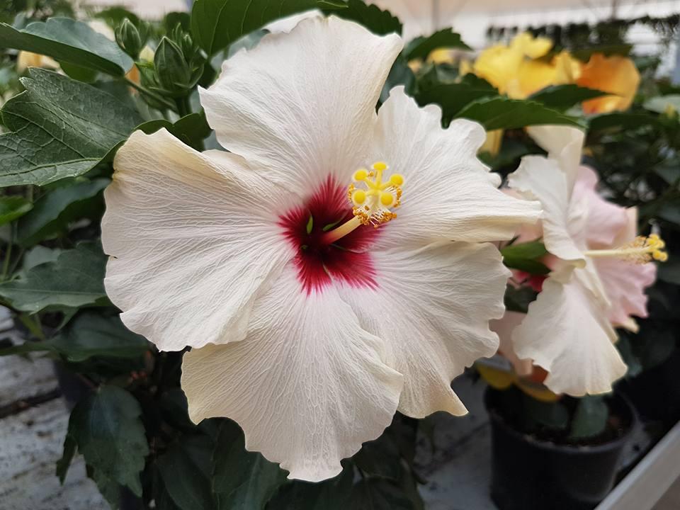 Ibiscus bianco