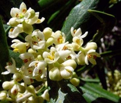 Fiori dell'ulivo