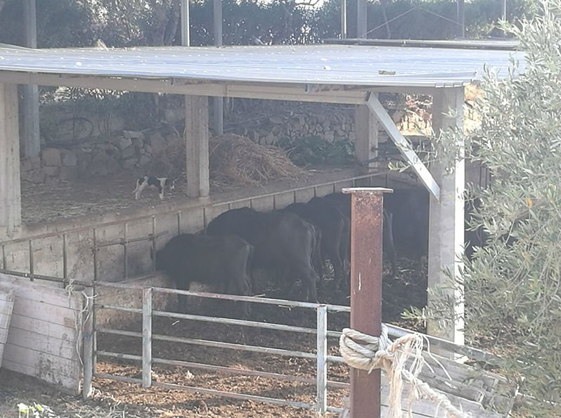 uno stabile con dei bufali