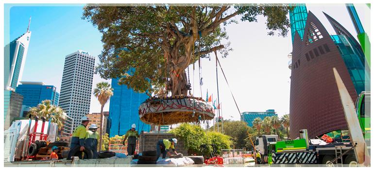 Tree transplantation in Perth