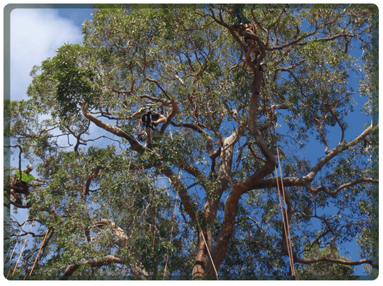 Tree specialists setup in a tree in Perth