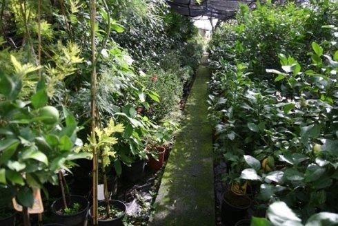 piante limone