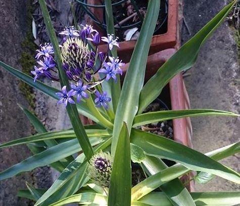 Scilla violaceae