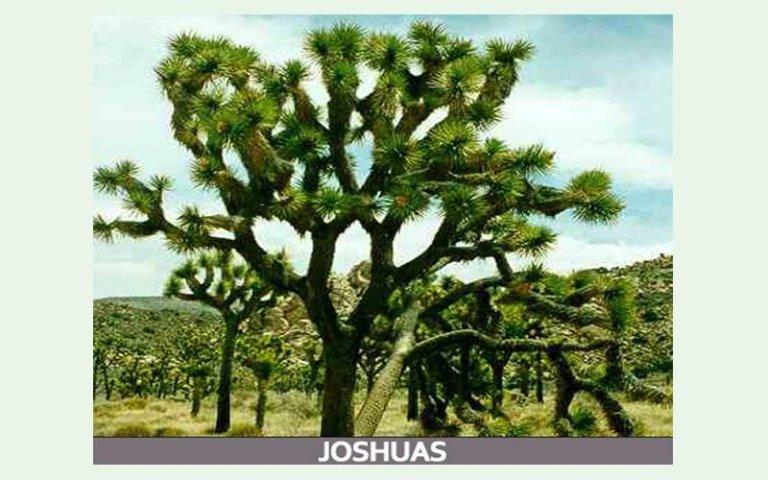 Joshuas