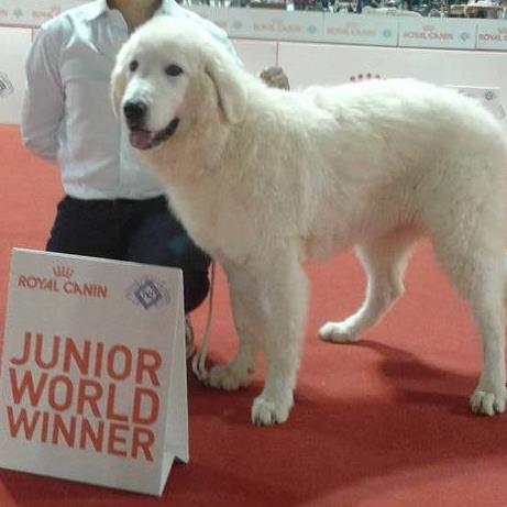 Pastore maremmano vince premio Junior World Winner