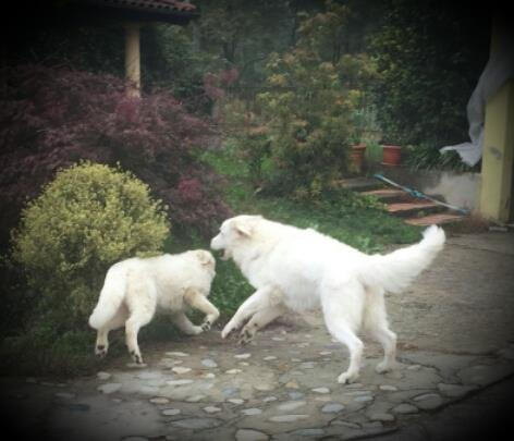 Due pastori maremmano giocano