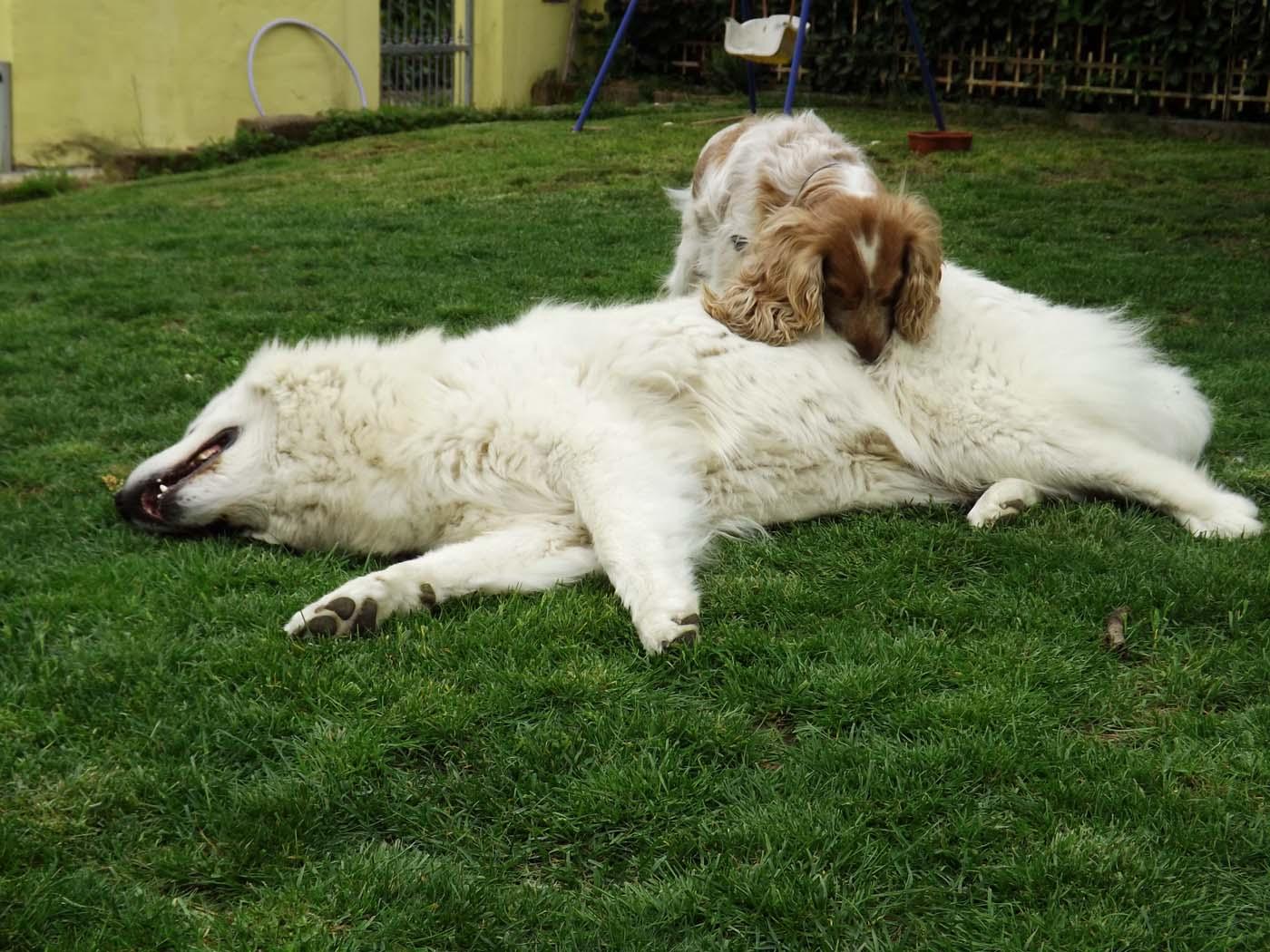 un cane che gioca con un pastore maremmano sdraiato in un prato