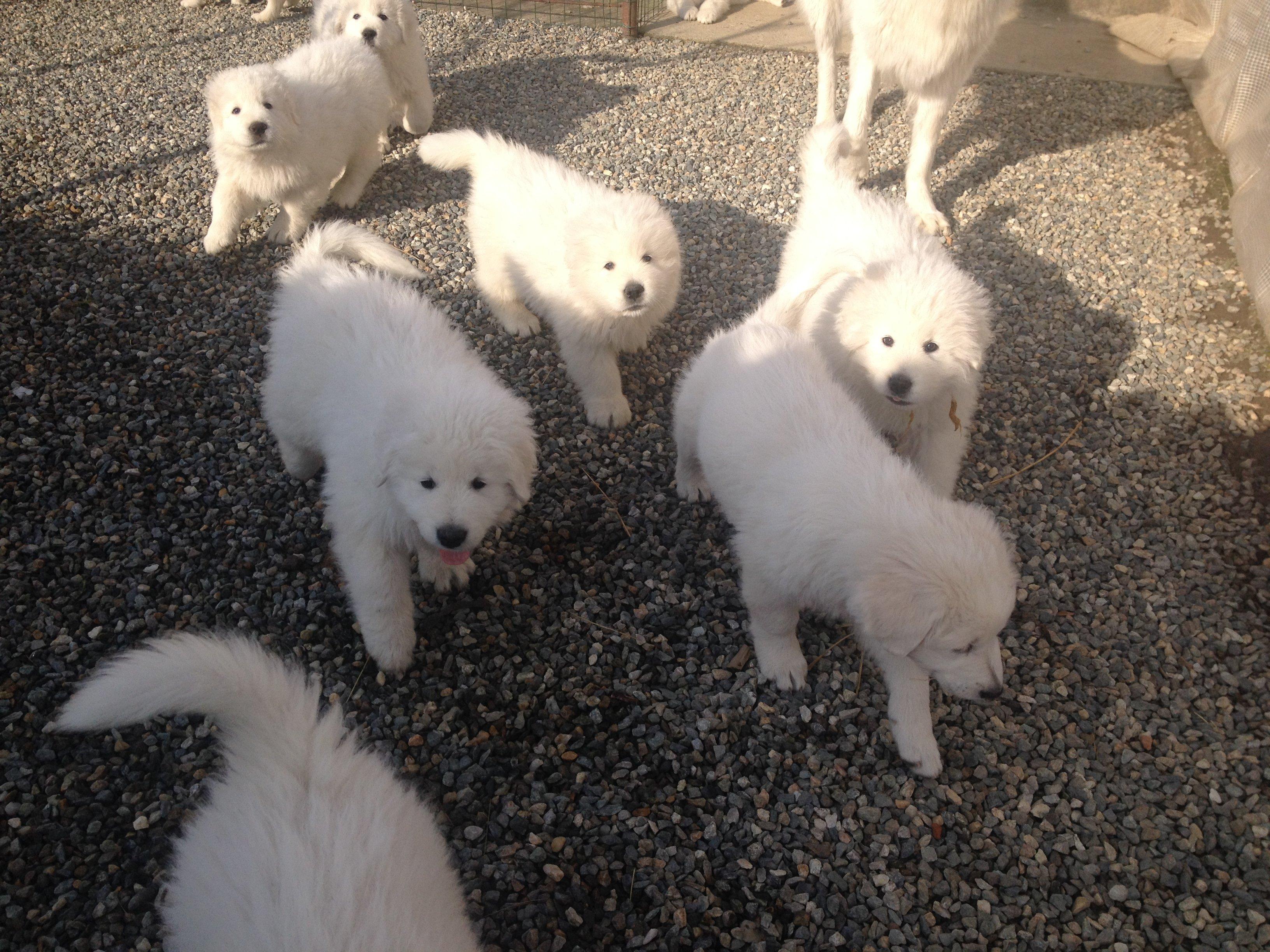dei cuccioli di pastore maremmano