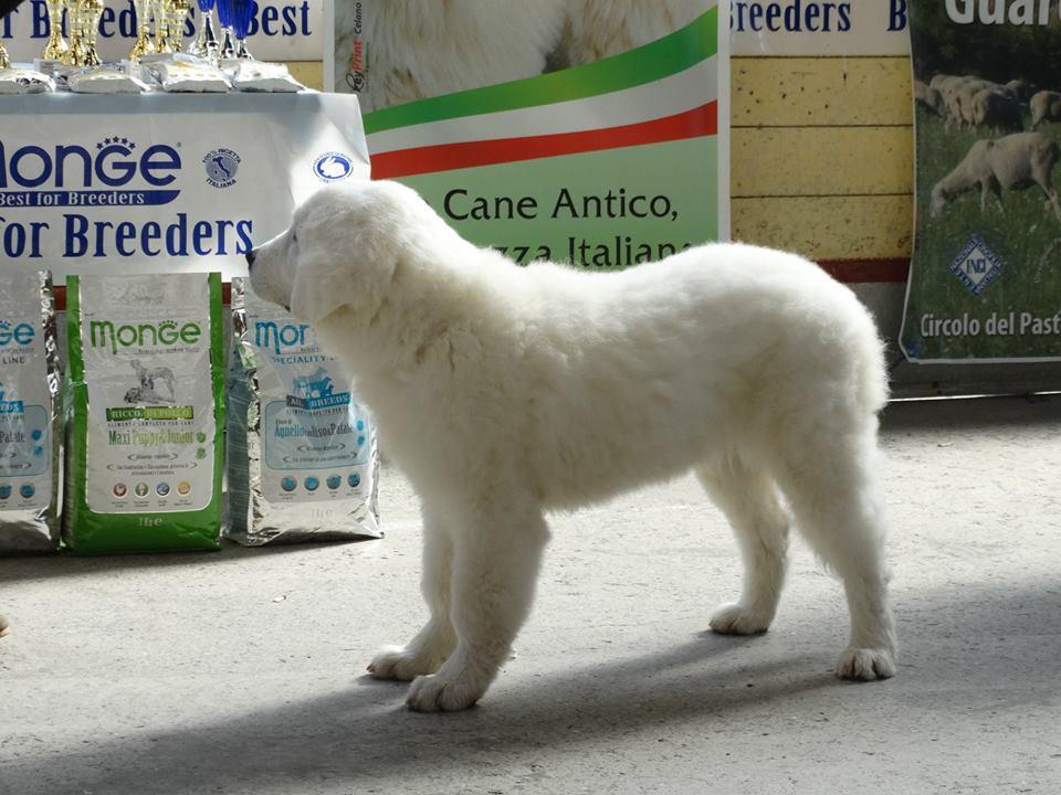 un cucciolo di pastore maremmano visto di lato